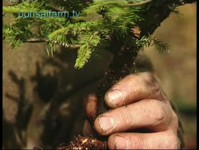 bonsai spruce grove creation from The Way of Bonsai TV series