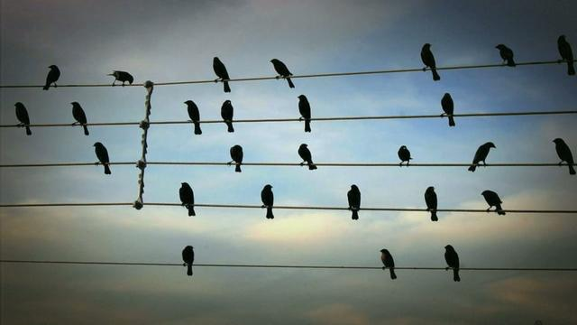 Thumbnail of video Birds on the Wires