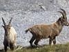 Wildlife in Vitelli Valley-Stelvio National Park