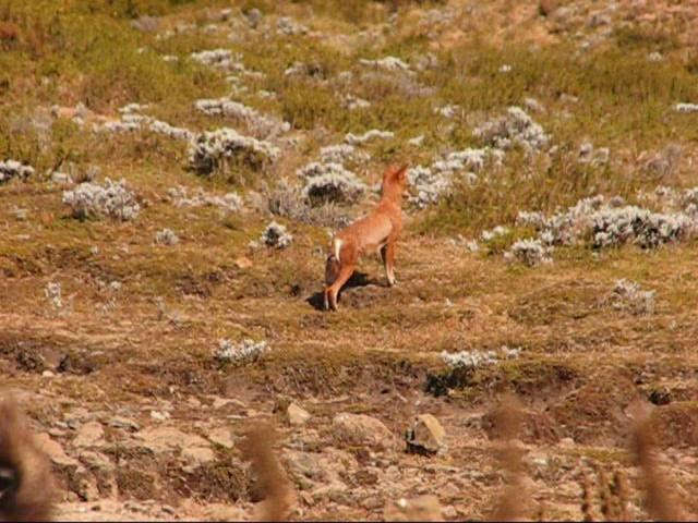 Endangered Ethiopian Wolves