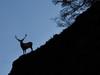 Cervi nel Parco Nazionale Stelvio